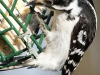 Downy woodpecker 5 (1 of 1).jpg
