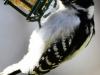 Downy woodpecker 6 (1 of 1).jpg
