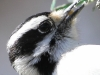Downy woodpecker 7 (1 of 1).jpg