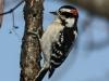 PPL Wetlands downy woodpecker (1 of 1)