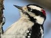 PPL Wetlands downy woodpecker 5 (1 of 1)