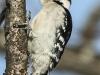 PPL Wetlands downy woodpecker 6 (1 of 1)