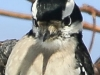 PPL Wetlands downy woodpecker 9 (1 of 1)