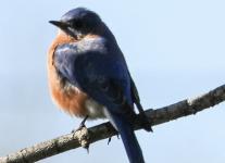 eastern bluebird -1