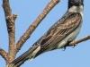 PPL Riverland June 10 2015 Eastern kingbird 45 (1 of 1).jpg