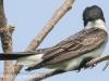 PPL Riverland June 10 2015 Eastern kingbird 51 (1 of 1).jpg