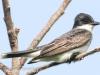 PPL Riverland June 10 2015 Eastern kingbird 53 (1 of 1).jpg