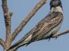 PPL Riverland June 10 2015 Eastern kingbird 56 (1 of 1).jpg
