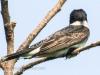 PPL Riverland June 10 2015 Eastern kingbird 59 (1 of 1).jpg