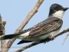 PPL Riverland June 10 2015 Eastern kingbird 67 (1 of 1).jpg