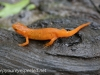 red spotted newt 037 (1 of 1).jpg
