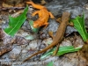 red spotted newt 042 (1 of 1).jpg