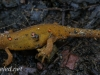 red spotted newt 101 (1 of 1).jpg