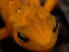 red spotted newt 122 (1 of 1).jpg