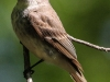 eastern phoebe 2 (1 of 1).jpg