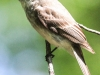 eastern phoebe 3 (1 of 1).jpg