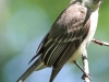 eastern phoebe 5 (1 of 1).jpg