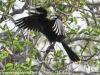 Everglades Anhinga morning walk birds  (11 of 39)