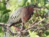 Everglades Anhinga morning walk birds  (14 of 39)