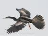 Everglades Anhinga morning walk birds  (5 of 39)