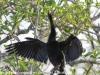 Everglades Anhinga morning walk birds  (7 of 39)