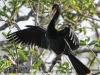 Everglades Anhinga morning walk birds  (9 of 39)