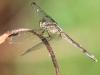 Flamingo Everglades hike dragonflies  (3 of 8)