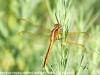 Flamingo Everglades hike dragonflies  (4 of 8)