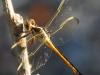 Flamingo Everglades hike dragonflies  (6 of 8)