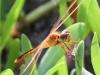Flamingo Everglades hike dragonflies  (7 of 8)