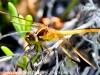Flamingo Everglades hike dragonflies  (8 of 8)