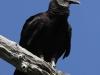 Everglades Mahogany Hammock  birds  (3 of 19)