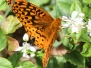 Frillitary butterfly