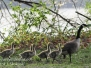 Geese and goslings May 8 2016