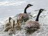 PPL Wetlands geese-6