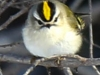 Lehigh canal golden crowned kinglet (1 of 8)