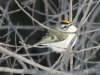 Lehigh canal golden crowned kinglet (2 of 8)