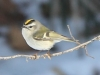 Lehigh canal golden crowned kinglet (3 of 8)