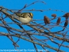 Lehigh canal golden crowned kinglet (4 of 8)