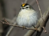 Lehigh canal golden crowned kinglet (5 of 8)