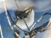 Lehigh canal golden crowned kinglet (6 of 8)