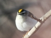Lehigh canal golden crowned kinglet (8 of 8)