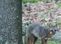 gray fox -008