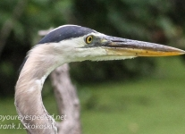 -great blue heron -065