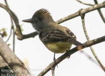 Great crested flycatcher green ridge -1