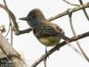 Great crested flycatcher green ridge -1