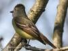 Great crested flycatcher green ridge -10