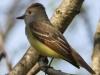Great crested flycatcher green ridge -11