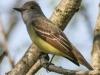 Great crested flycatcher green ridge -12