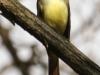 Great crested flycatcher green ridge -13